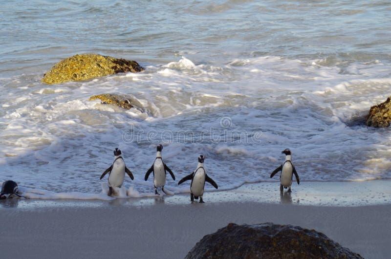 Finie la baignade. Quatuor de manchots en costume sortant d`une baignade rafraichissante au Cap de Bonne Espérance pendant une voyage en Afrique du sud royalty free stock images