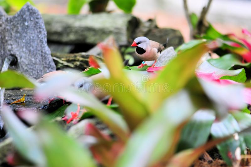 Finkvogel des erwachsenen Hecks lizenzfreie stockfotografie