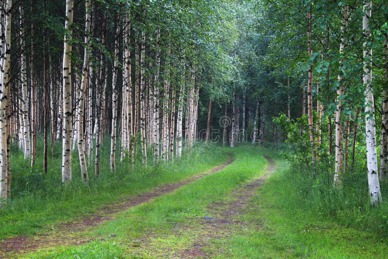 Finland: Through the birch forest stock image