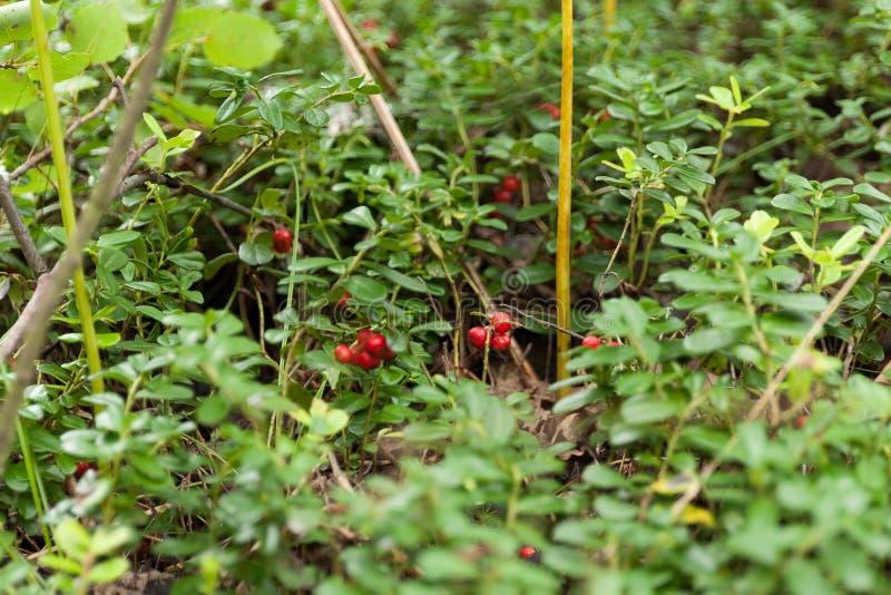 Finland löst lingon, vacciniummat Antioxidant b?r arkivbild