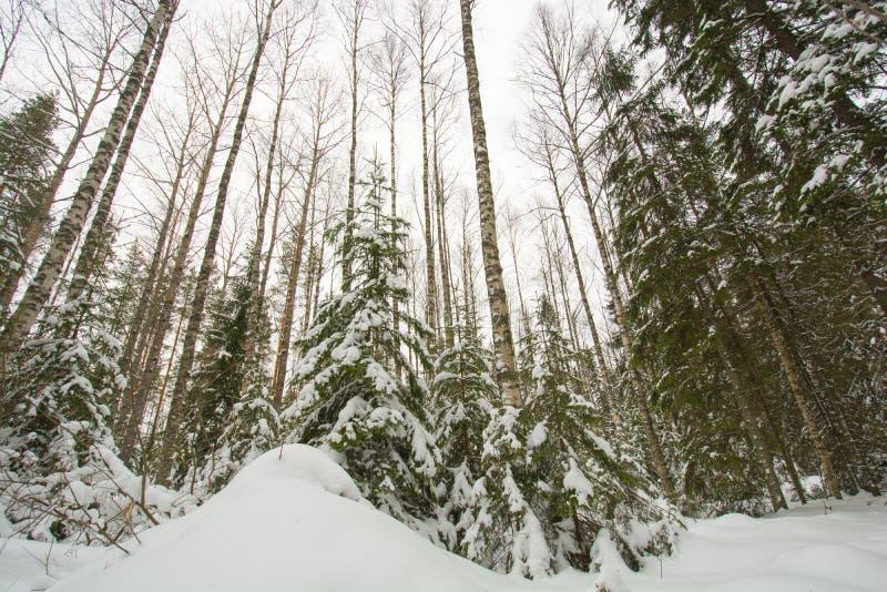 Finland skog i vinter royaltyfria bilder