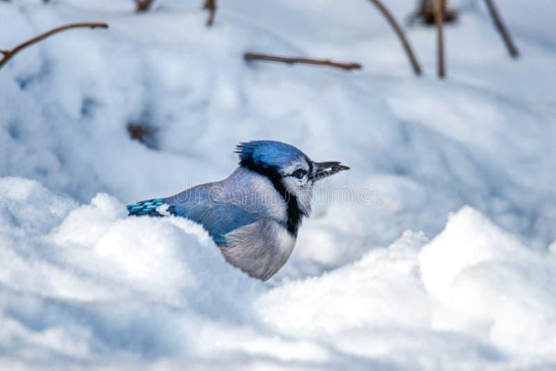 Finna för blåsångare kärnar ur i snön arkivbilder