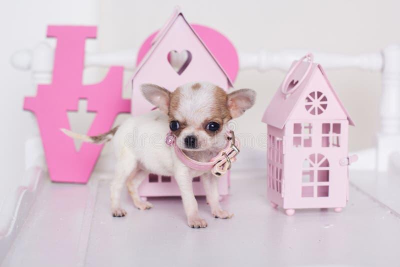 Finnig valp för Chihuahua nära rosa färgpappershus royaltyfri fotografi