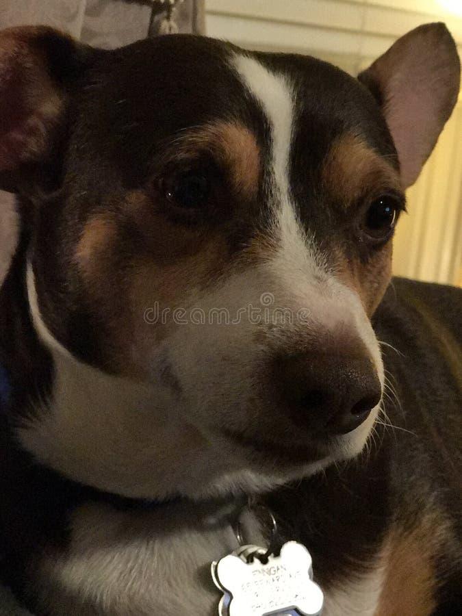 Finnigan el perro imagen de archivo libre de regalías