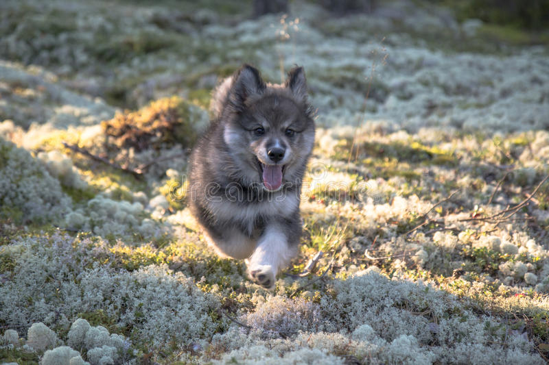 Finnish lapphund puppy royalty free stock images