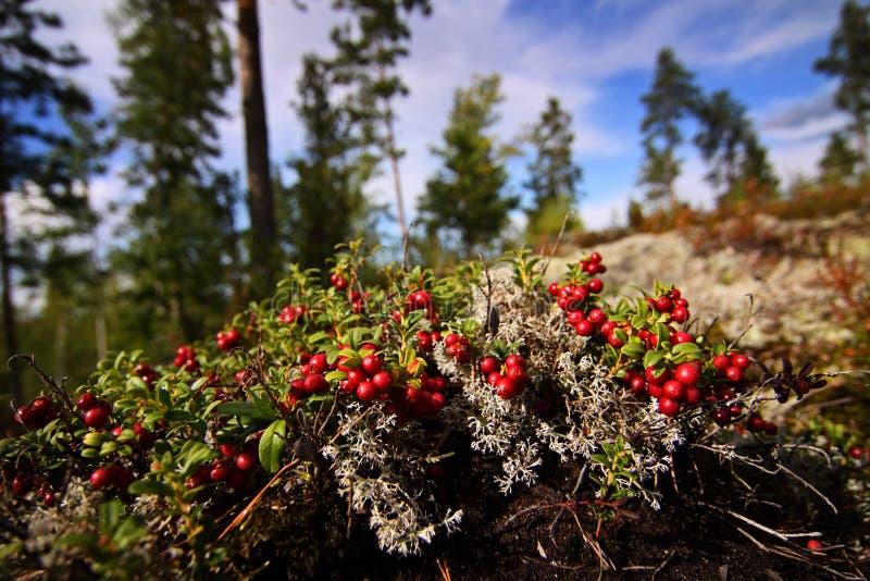 Finnland: Früchte des Herbstes lizenzfreies stockbild