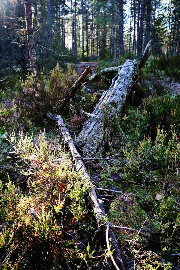 Finnland: Wald im Herbst lizenzfreies stockfoto