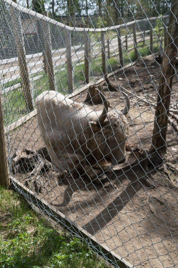 Finnland-Zoo Bisons AyYoung weißer im Freien hinter der Zelle lizenzfreie stockbilder