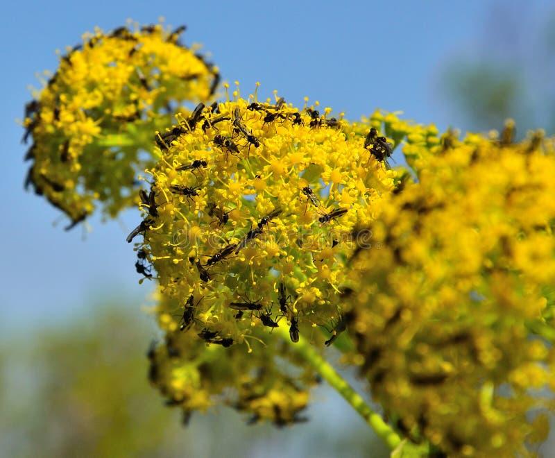 Finocchio in piena fioritura con lo sciame di piccole mosche immagine stock
