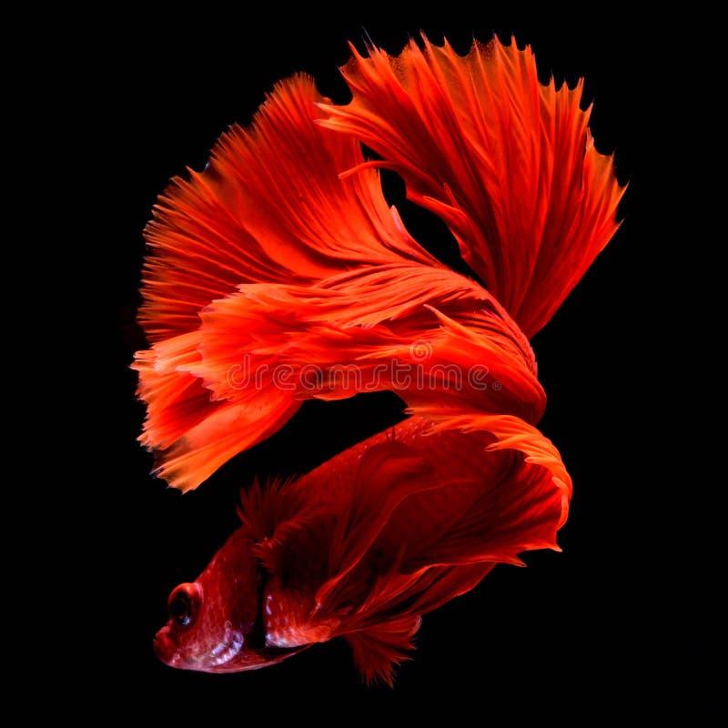 Red Betta Siamese fighting fish. stock photo