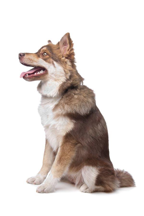 Finse Lapphund stock afbeelding