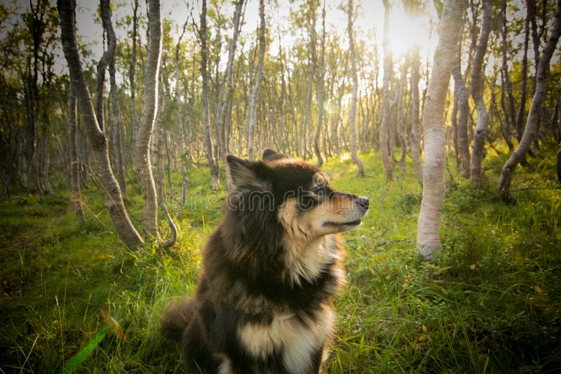 Finse Lapphund in berkehout royalty-vrije stock foto