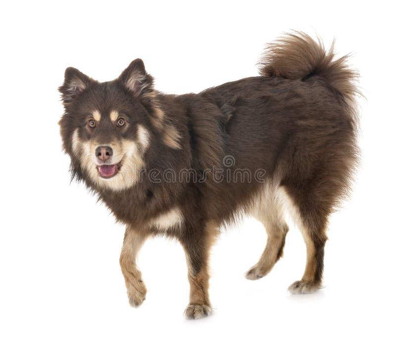 Finse Lapphund in studio stock afbeelding