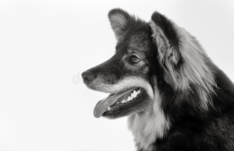 Finse lapphundhond stock afbeelding