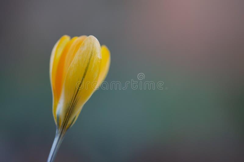 Fintvätt av gula tulip i ljusglöden arkivbild