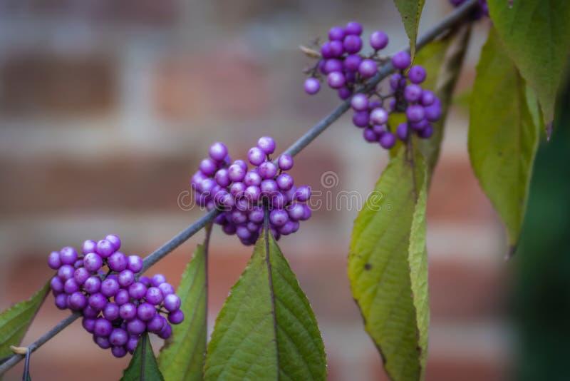 Fiołkowe jagody callicarpa pedunculata roślina obrazy stock