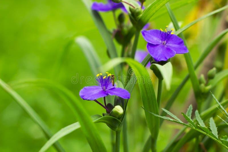 Fiołek kwitnie tradeskancję w ogródzie z hoverfly obrazy stock