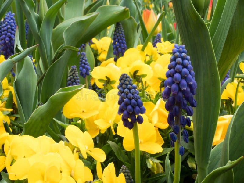 Fiołek kwitnie w ogródzie na zielonym tle obraz royalty free