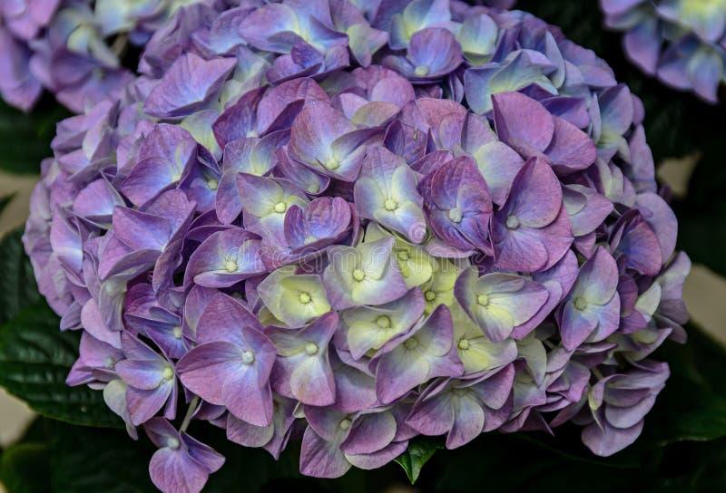 Fiołek, mauve hortensja kwitnie w wazie, hortensia płatki zdjęcia royalty free