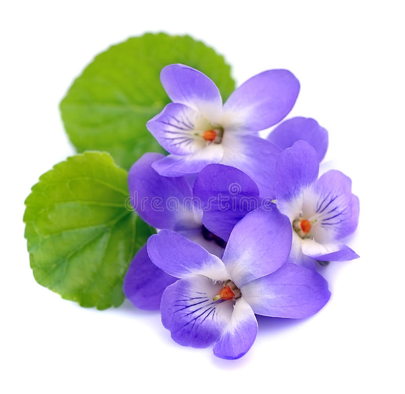 Fiołków kwiaty zdjęcia stock