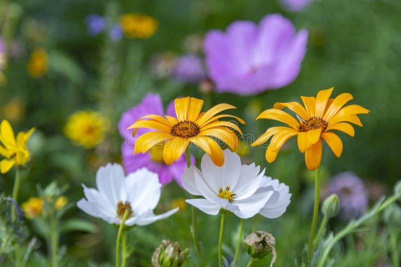 Fiołka i bielu kosmosu ogrodowi kwiaty zdjęcia royalty free