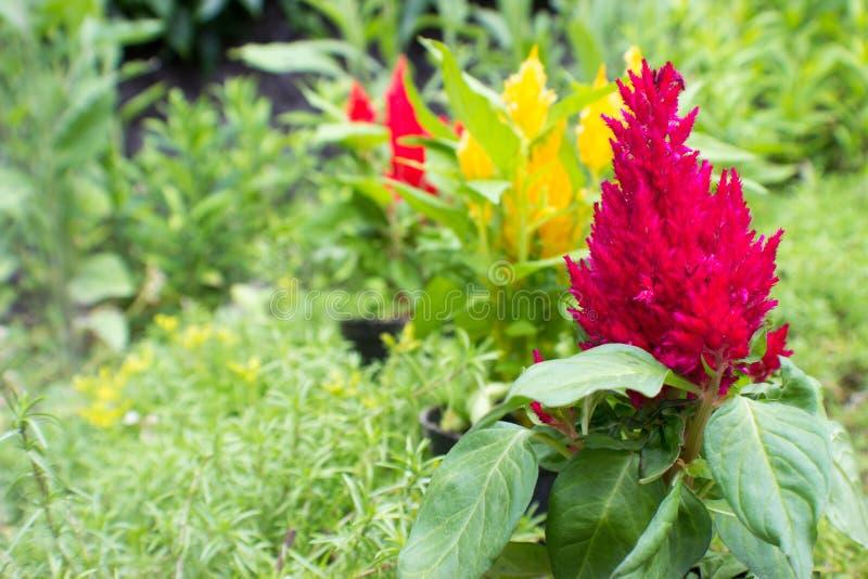 Fiołka, koloru żółtego i czerwieni amaranthus, fotografia stock