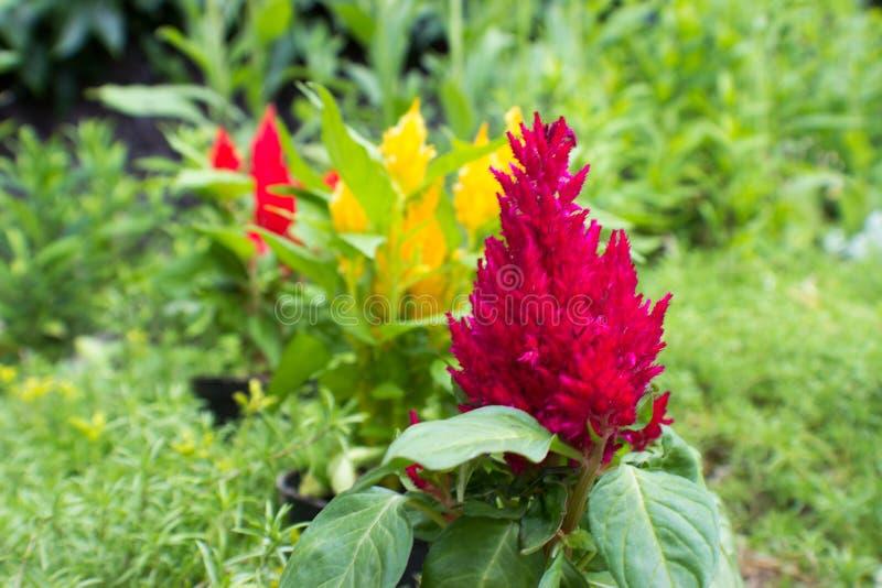 Fiołka, koloru żółtego i czerwieni amaranthus, fotografia royalty free