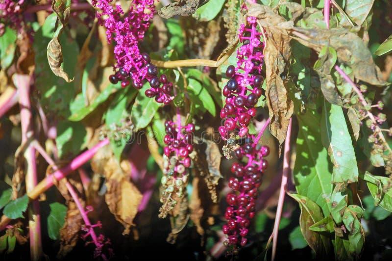 Fiołkowe owoc - kwiaty i rośliny z małymi liśćmi pokazuje ona piękno fotografia royalty free
