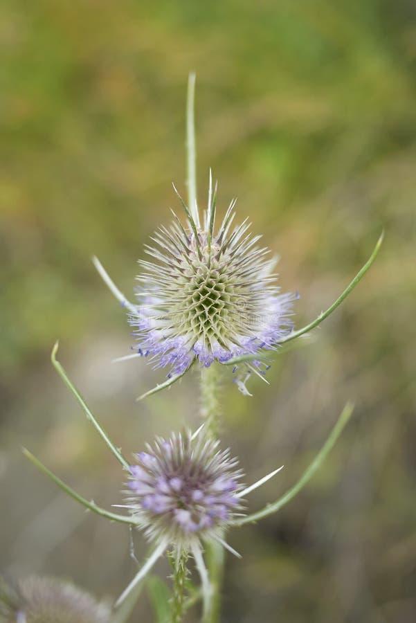Fiołkowi kwiaty Dipsacus fullonum fotografia royalty free