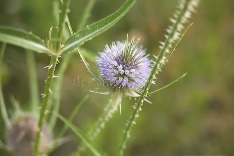 Fiołkowi kwiaty Dipsacus fullonum zdjęcie stock