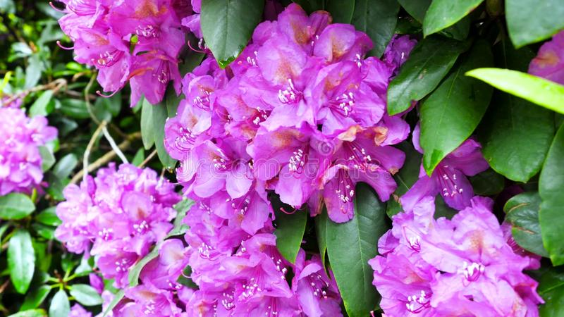 Fiołkowi kwiaty różaneczniki w ogródzie fotografia stock