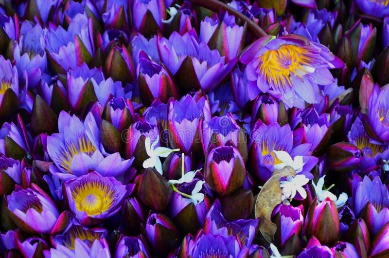 Fiołkowi lotosowi pączki otwierają i zamykają Tło fotografia royalty free