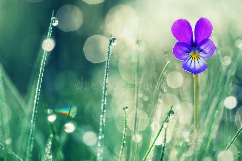 Fiołkowi primula kwiaty z wodą opuszczają makro- obraz stock