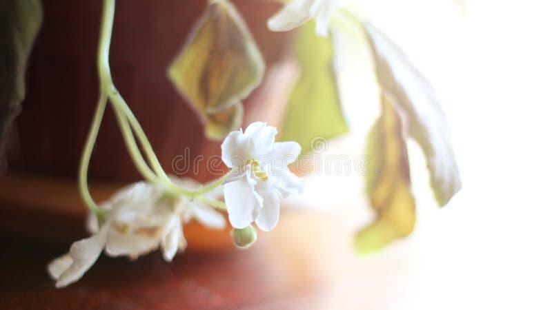 Fiołkowy biały kwiat w garnku zdjęcia stock