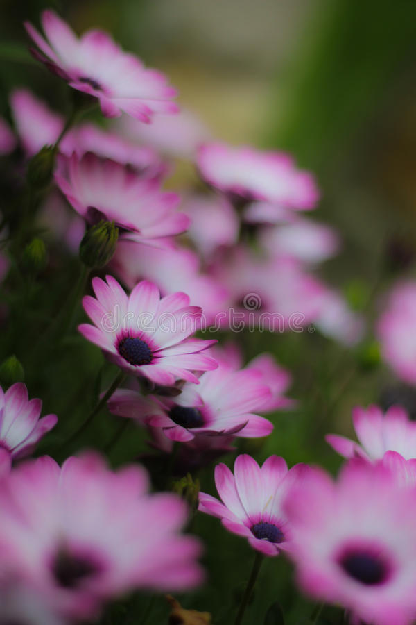 Fiołkowy calendula kwitnie w ogródzie zdjęcia stock