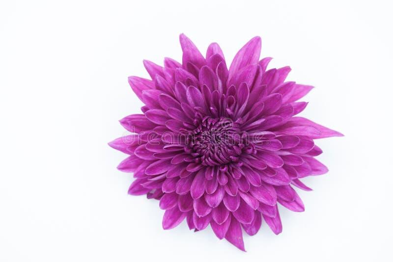 Fiołkowy chryzantema kwiat Odizolowywający nad Białym tłem obrazy stock