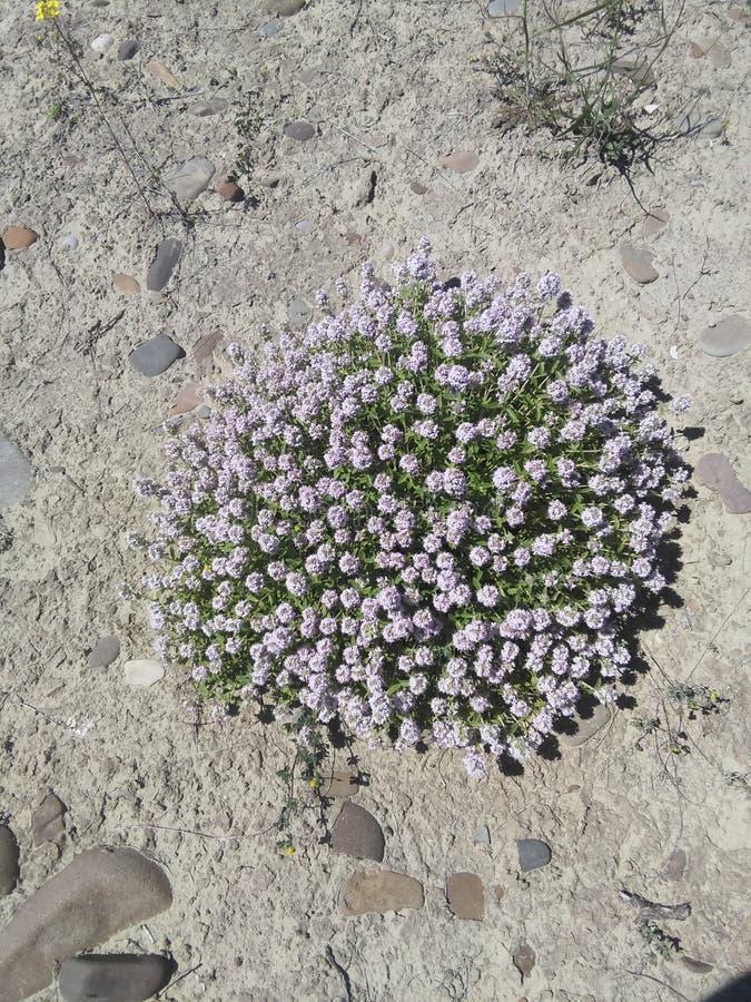 Fiołkowy Flower power obrazy royalty free