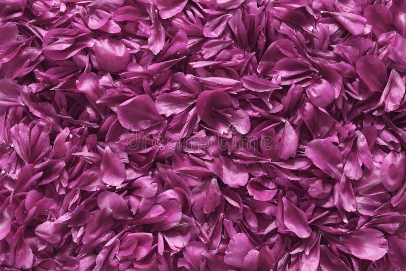 Fiołkowy kwiatów płatków tekstury tło obraz royalty free