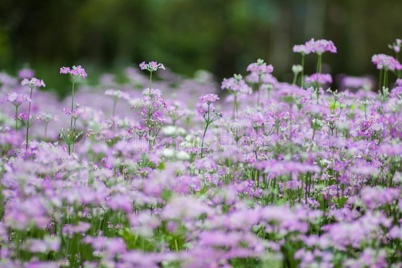 Fiołkowy kwiat, Chaing Mai obraz royalty free