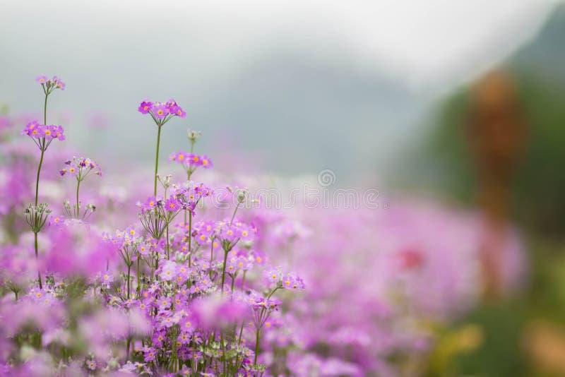 Fiołkowy kwiat, Chaing Mai zdjęcie stock