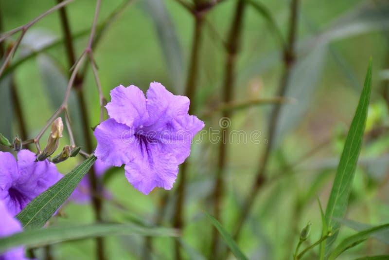 Fiołkowy kwiat w ogródzie zdjęcie royalty free