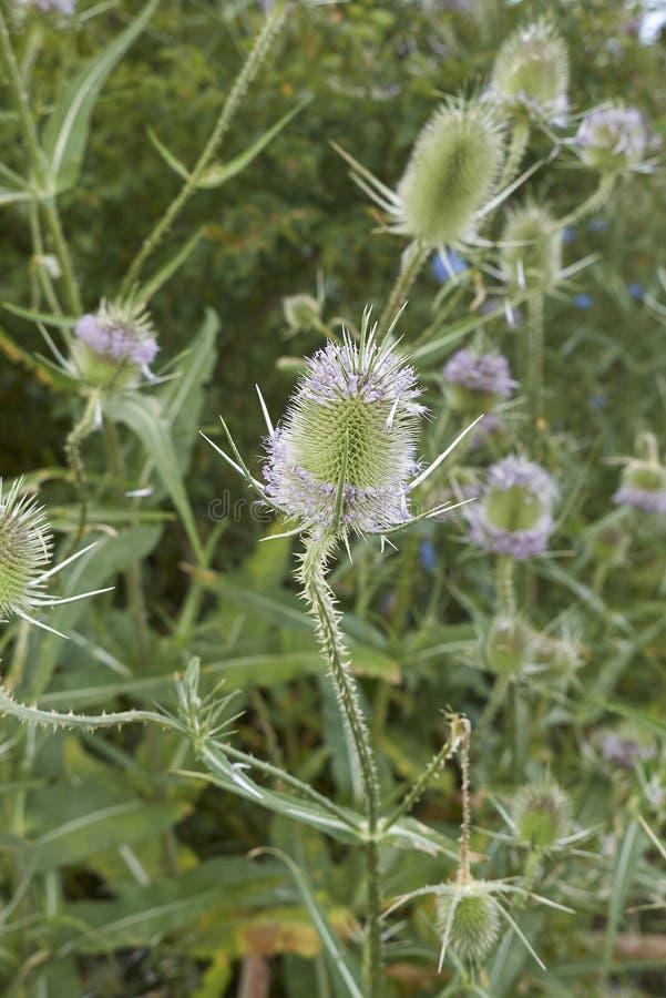 Fiołkowy kwiatostan Dipsacus fullonum obrazy royalty free