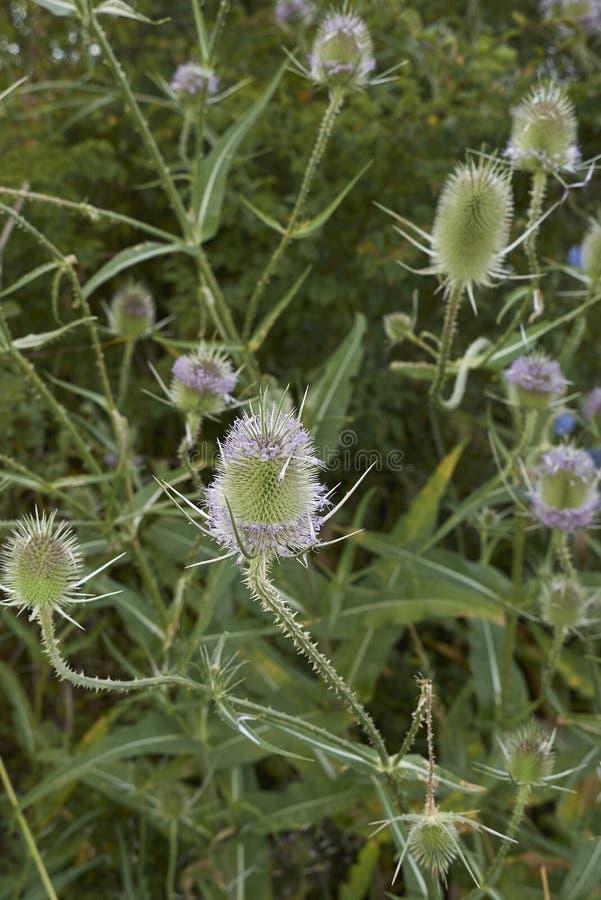 Fiołkowy kwiatostan Dipsacus fullonum fotografia royalty free