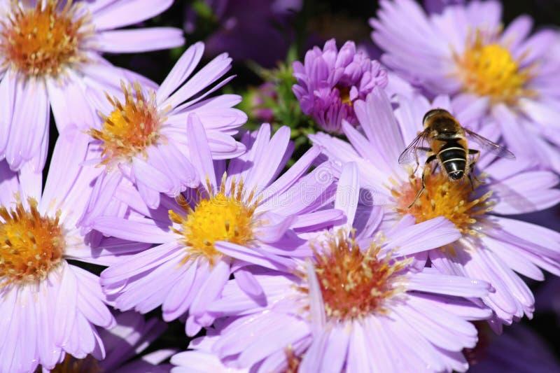 Fiołkowy kwiatu aster Alpinus z pszczołą, republika czech, Europa obraz royalty free