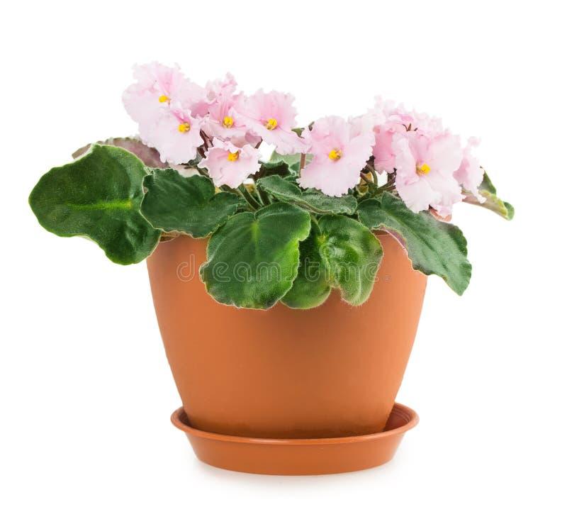 Fiołkowy kwiatu garnek obraz royalty free
