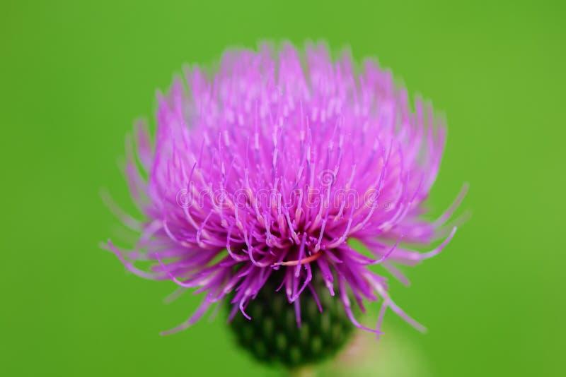 Fiołkowy kwitnie kwiat na łące - oset obraz royalty free