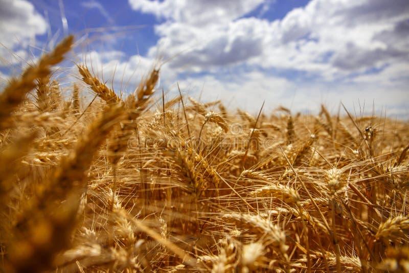 Fio do trigo com a riqueza da terra fotografia de stock royalty free