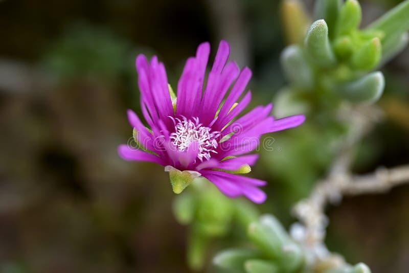 Download Fiołkowy kwiat obraz stock. Obraz złożonej z roślinność - 57666529