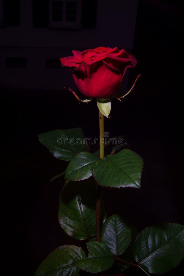 Fiocchi della rosa rossa del fiore fotografia stock