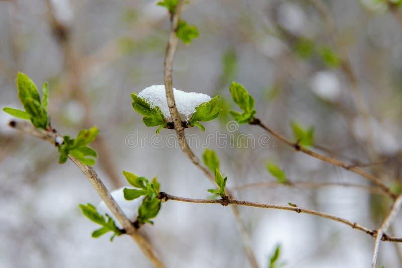 Fiocchi di neve sulle foglie verdi fotografie stock
